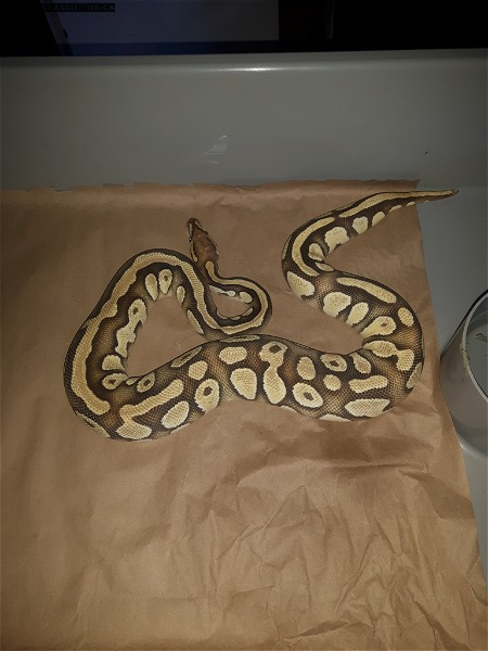 1.0 OD Mojave Het Orange Hypo breeding size