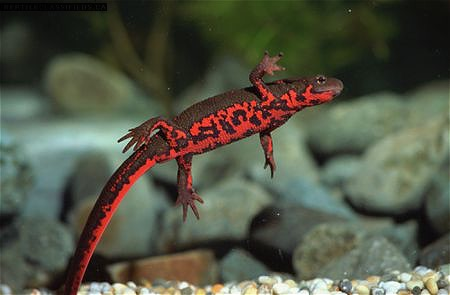2 Chinese Fire Bellied Newts