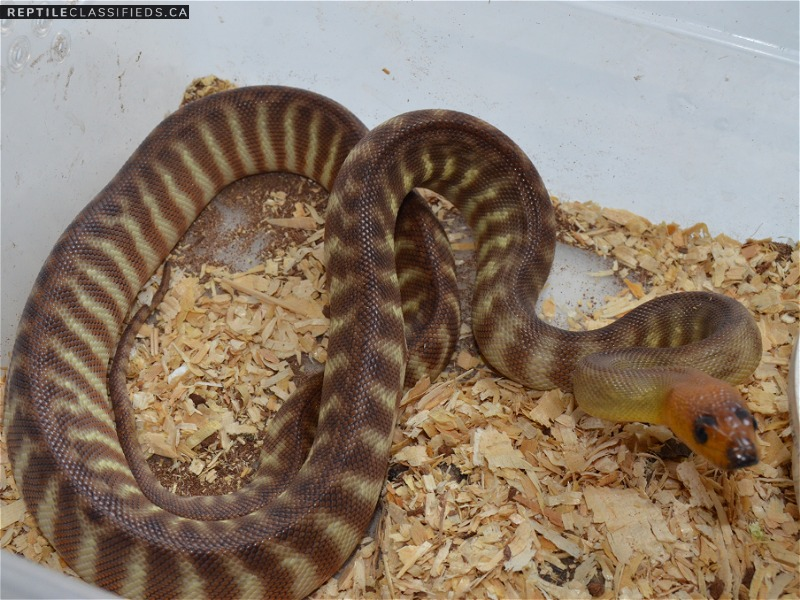 SOLD 2017 Woma pair - Reptile Classifieds Canada