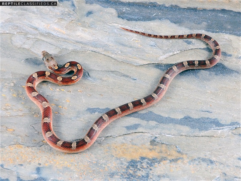 2018 Female Pied-sided Bloodred Cornsnake (moderate expression) RR18-FAN01-5F - Reptile Classifieds Canada