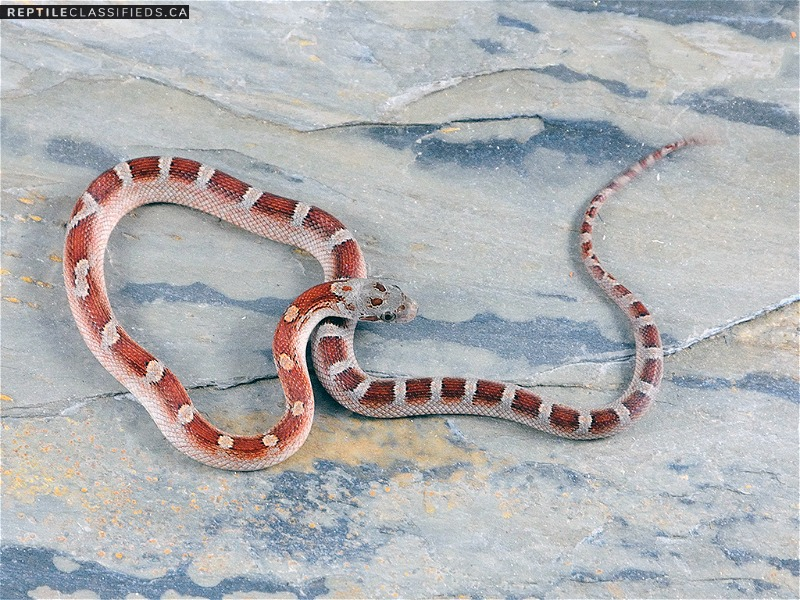 2018 Male Pied-sided Bloodred Cornsnake (moderate expression) RR18-FAN01-4M - Reptile Classifieds Canada