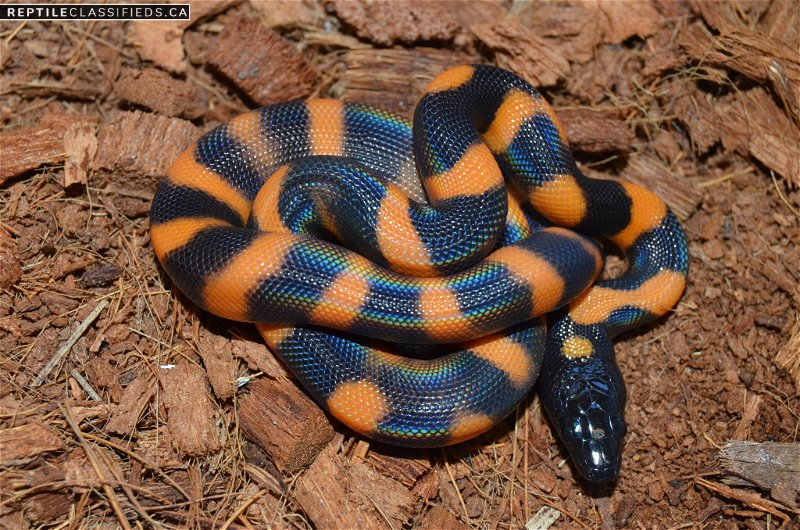 2018 Ringed Pythons - Reptile Classifieds Canada