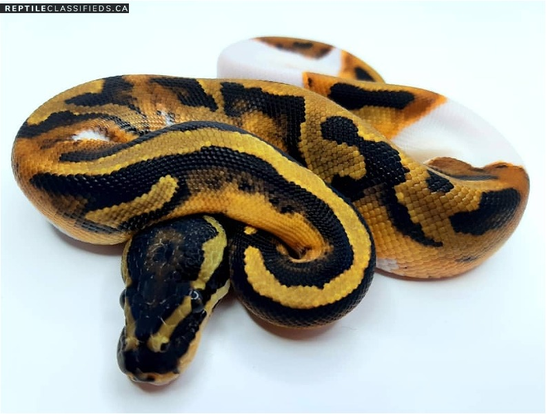 2019 enchi pied male!