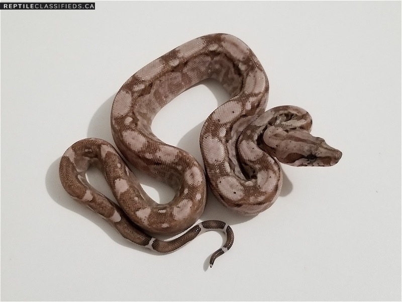 Nicaraguan Boas NL Chocolate T+ Albino, Snows, Motleys, BEA ( Black Eyed Anery ) - Reptile Classifieds Canada