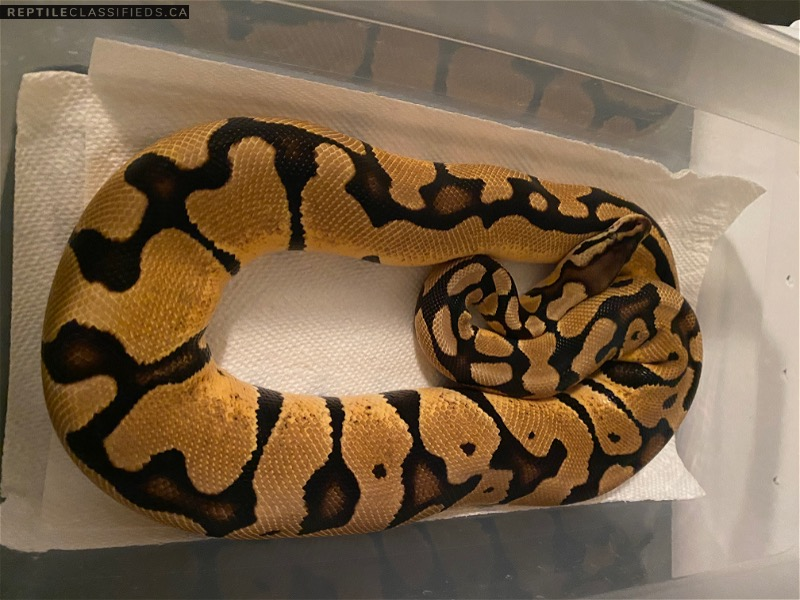 Pastel enchi  - Reptile Classifieds Canada