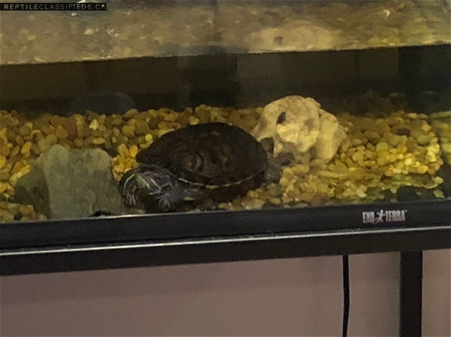 Red rated slider and yellow - bellies slider