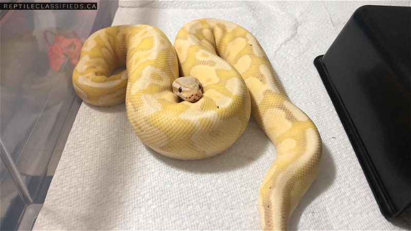 Proven Breeder Pastel Fire Banana Male Ball Python