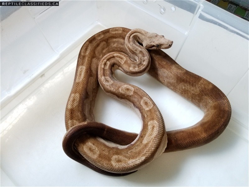 Nicaraguan Boas Proven Breeders and Extra! - Reptile Classifieds Canada