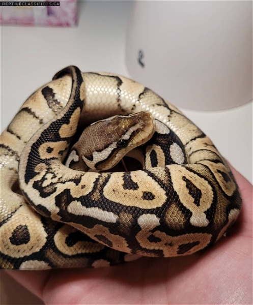 Pewter 66% het pos pied - Reptile Classifieds Canada
