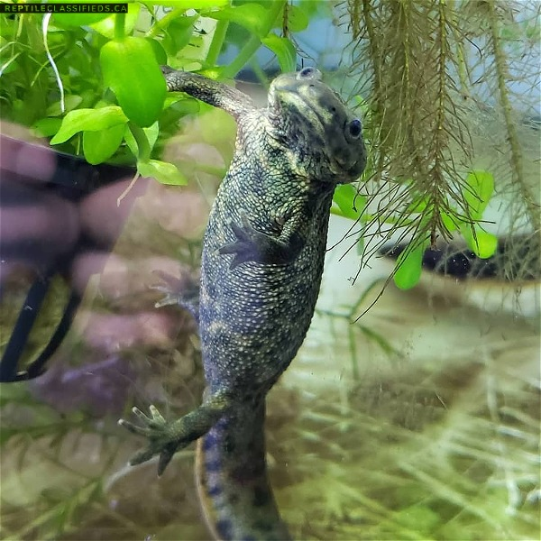 Spanish ribbed newts  - Reptile Classifieds Canada