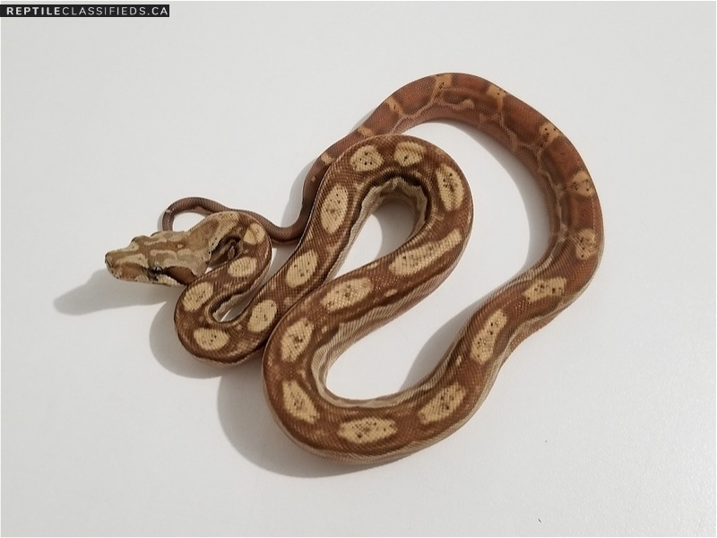 Nicaraguan Boa New line Chocolate T+ Albino Motley 66% pos Het BEA (black eyed anery) - Reptile Classifieds Canada