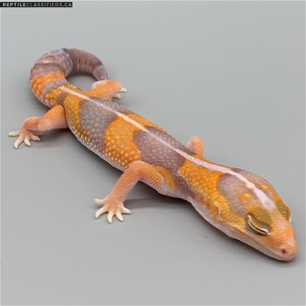 African Fat Tail - TSF Striped Amel (AFT-H25-20)