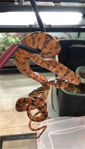 Amazon Tree Boas
