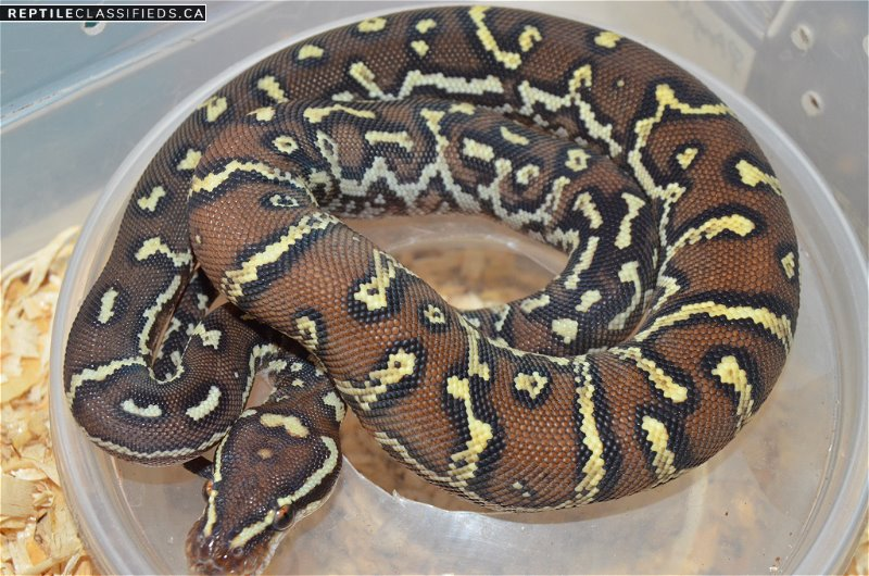 Angolan Pythons - Reptile Classifieds Canada