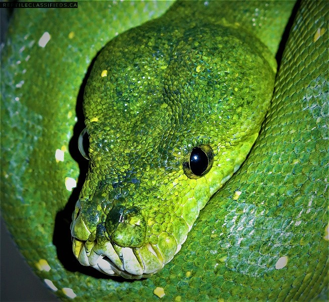 Aru Type Green Tree Pythons