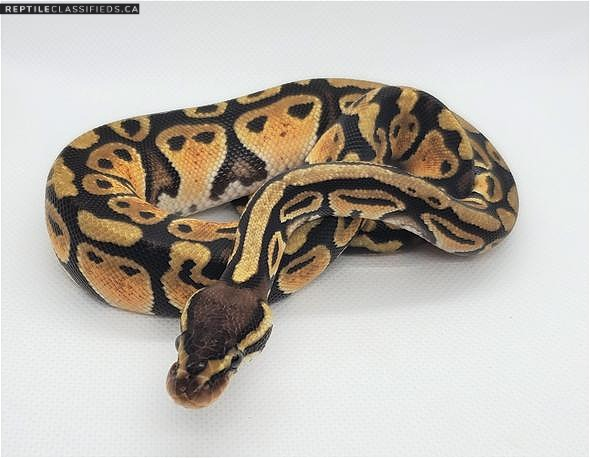 Ball python Hatchling wanted