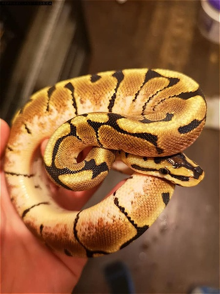 Ball pythons. Bumble bee. spider. normal. pastel