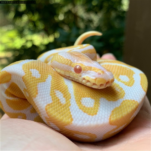 Beautiful healthy albino ball Python