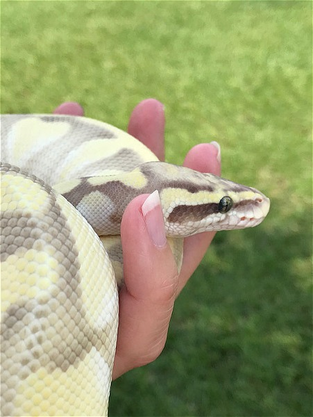 Butter Ghost Ball Python - Reptile Classifieds Canada