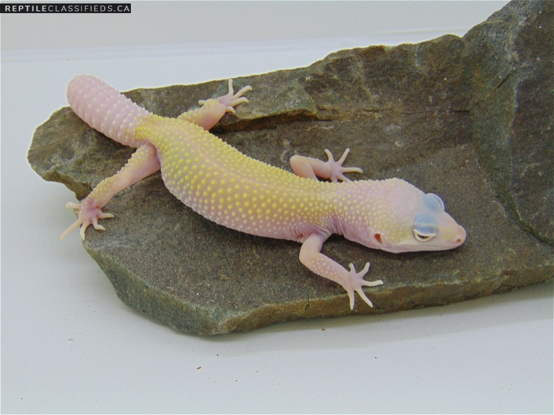 Blazing Blizzard(Tremper) het Eclipse - Reptile Classifieds Canada