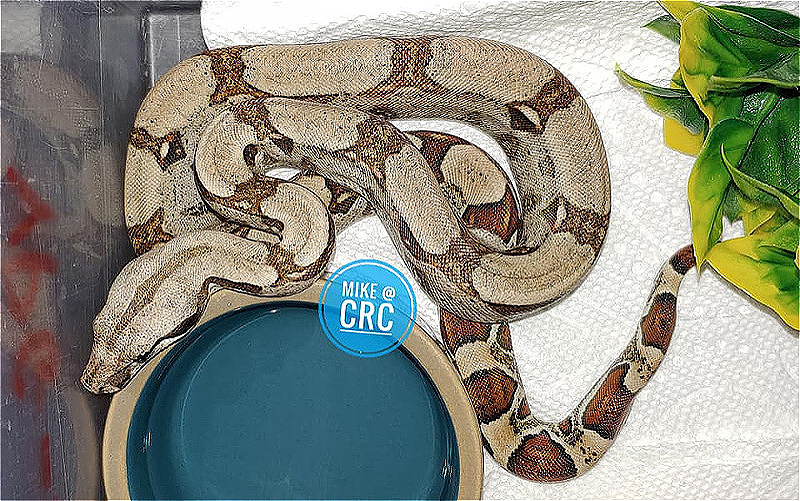 Boas for sale - Uranium Jungle Snowglow project yearlings & SuperStripe Sunclipse