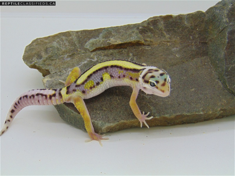 Bold Stripe High Yellow Lavender - Reptile Classifieds Canada