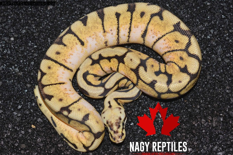 Bumblebee Male - Reptile Classifieds Canada