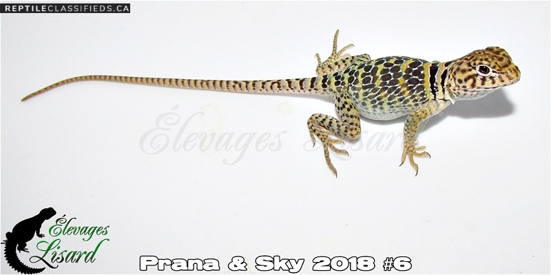 CB Crotaphytus collaris / Eastern collared lizards - Reptile Classifieds Canada