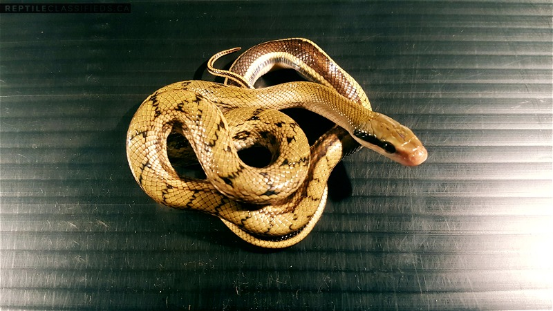 Chinese Beauty Snake for Sale