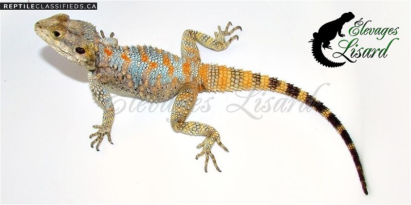Clown agamas / Painted agamas - Reptile Classifieds Canada
