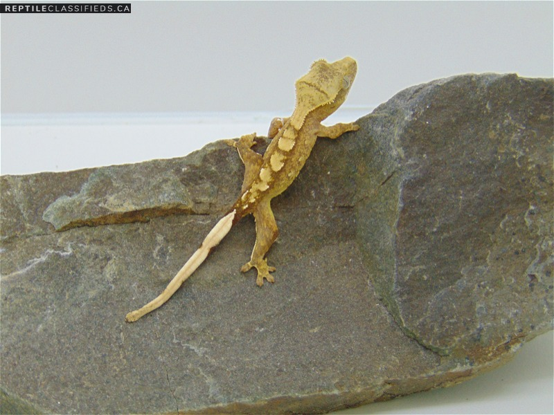 Crested Geckos - Reptile Classifieds Canada