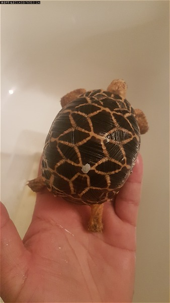Critically endangered burmese star tortoises