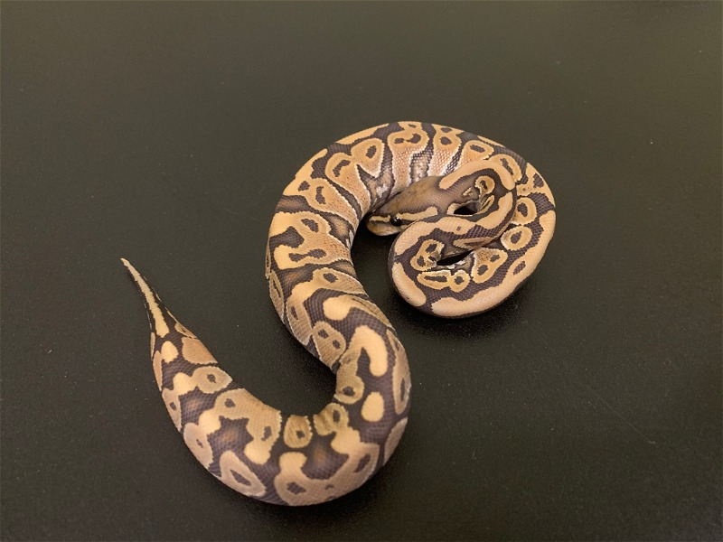 Current list of available ball pythons