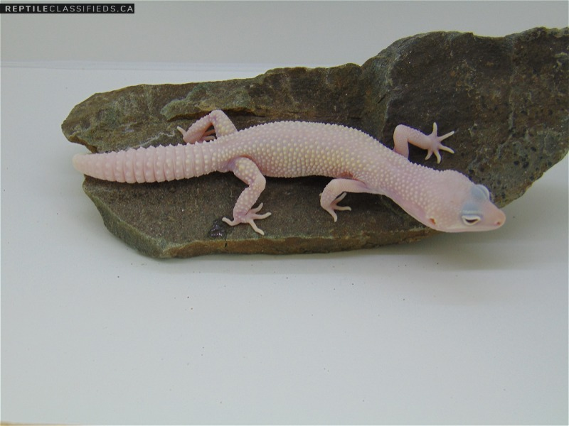 Diablo Blanco - Reptile Classifieds Canada