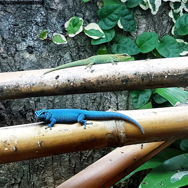 Electric Blue Day Geckos