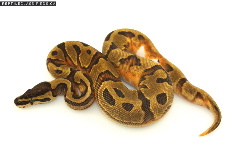 Enchi Pied Female - Reptile Classifieds Canada