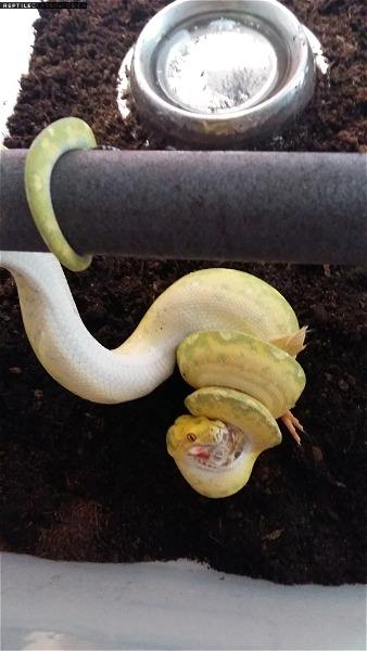 Female biak green tree python