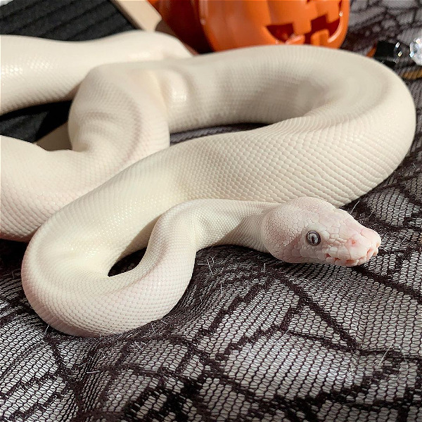 Female Blue Eyed Lucy (BEL BALL PYTHON)  - Reptile Classifieds Canada