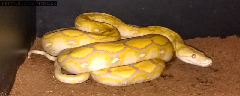 Female lavender albino SD retic available
