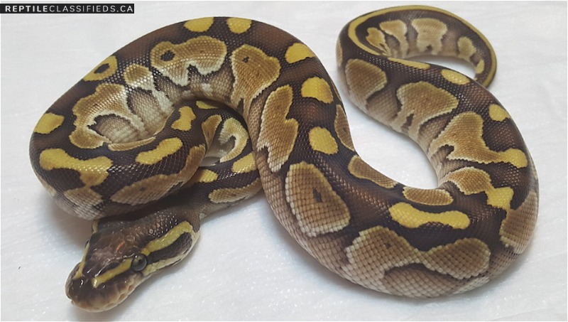 Female lesser pos het. Albino  - Reptile Classifieds Canada