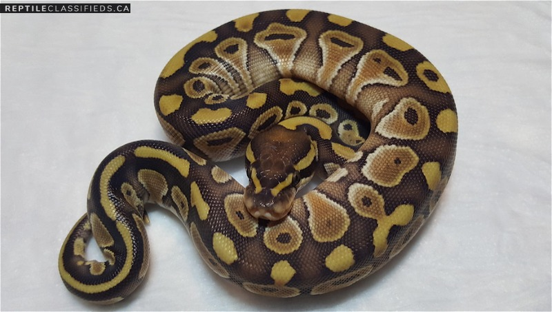 Female Lesser pos. het. albino - Reptile Classifieds Canada