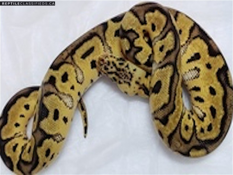Female Pastel Clown - Reptile Classifieds Canada