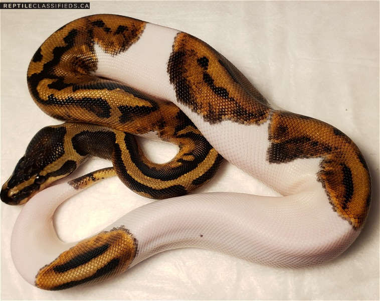 Female pied - Reptile Classifieds Canada