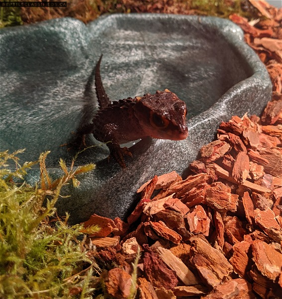 Female red eye crocodile skink - Reptile Classifieds Canada