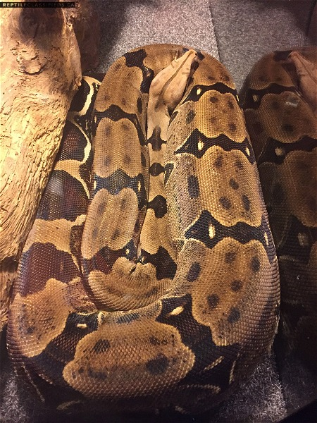 Female SURINAME Red Tailed Boa Constrictor for Sale