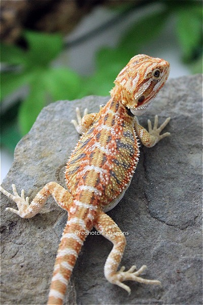 Red Hot Baby Bearded Dragons for Sale