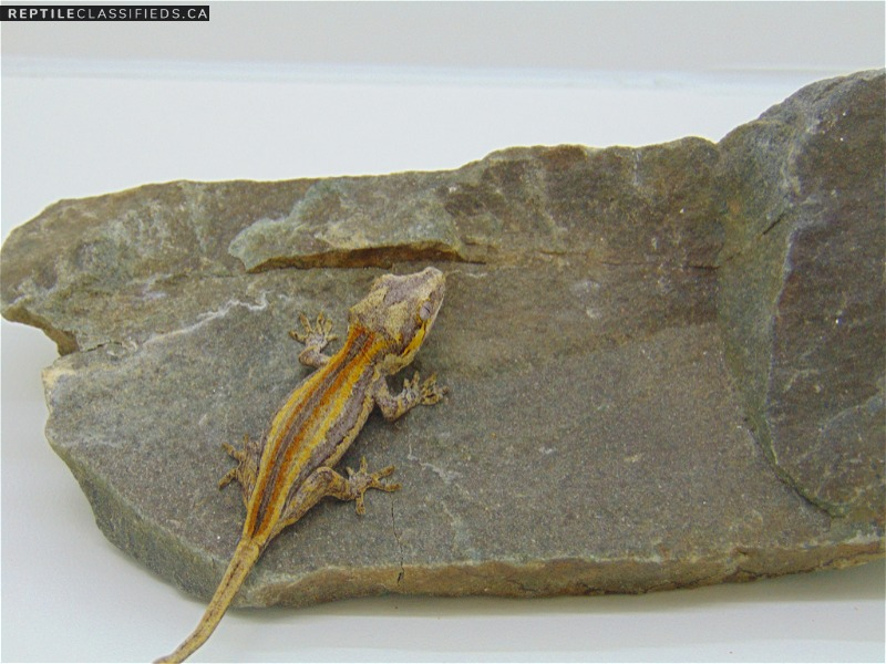 Gargoyle Gecko - Reptile Classifieds Canada