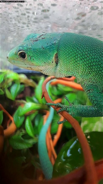 Green Keeled Bellied Lizards  - Reptile Classifieds Canada