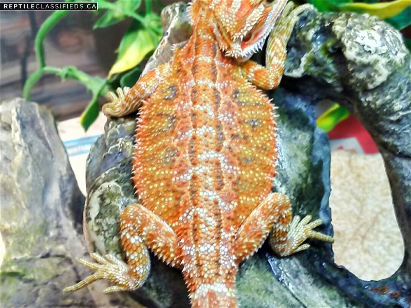 Hypo Bearded Dragons