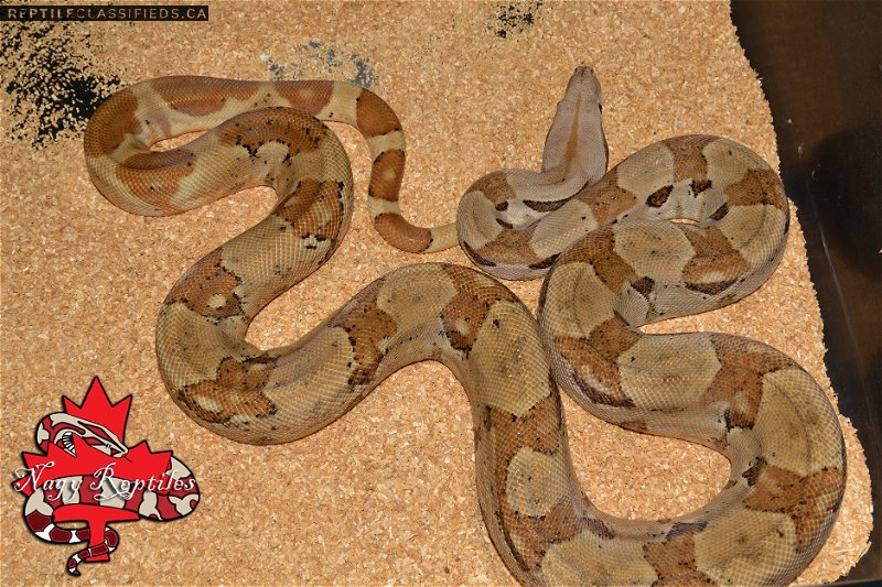 Hypo het Sharp Albino - Reptile Classifieds Canada